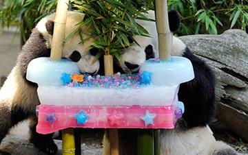 旅美大熊猫度过22岁生日